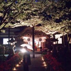 ライトップされた来迎寺のキクザクラ